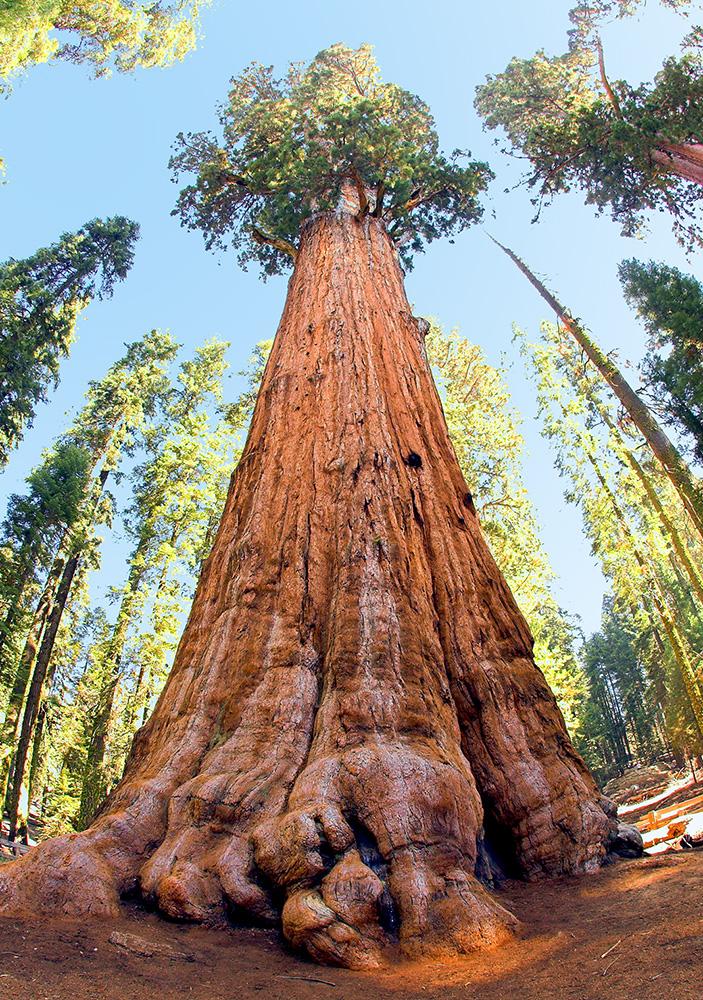 Generał Sherman - mamutowiec olbrzymi rosnący w Parku Narodowym Sekwoi w Kalifornii w USA. Uważany za największe drzewo na  świecie.