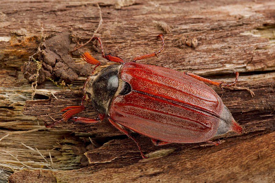 Zdjęcie chrabąszcza majowego