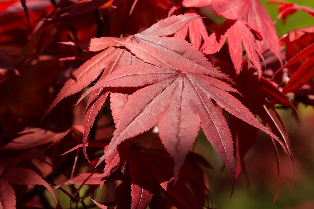 Zdjęcie czerwonych liści klonu palmowego
