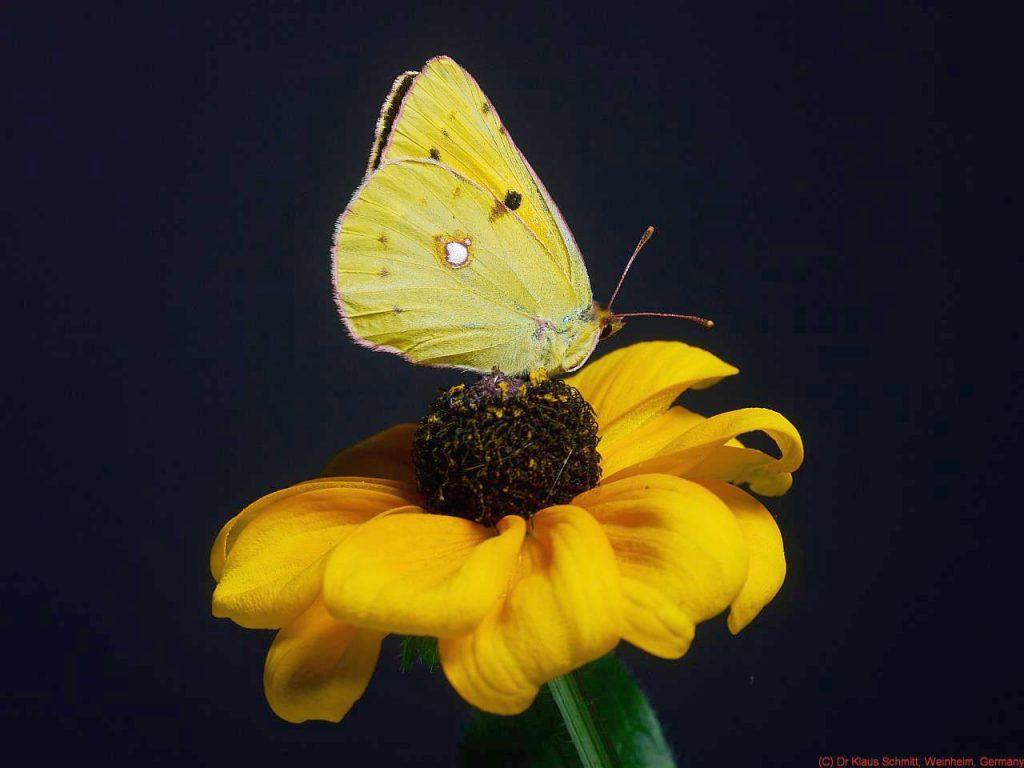 Motyl w świetle normalnym