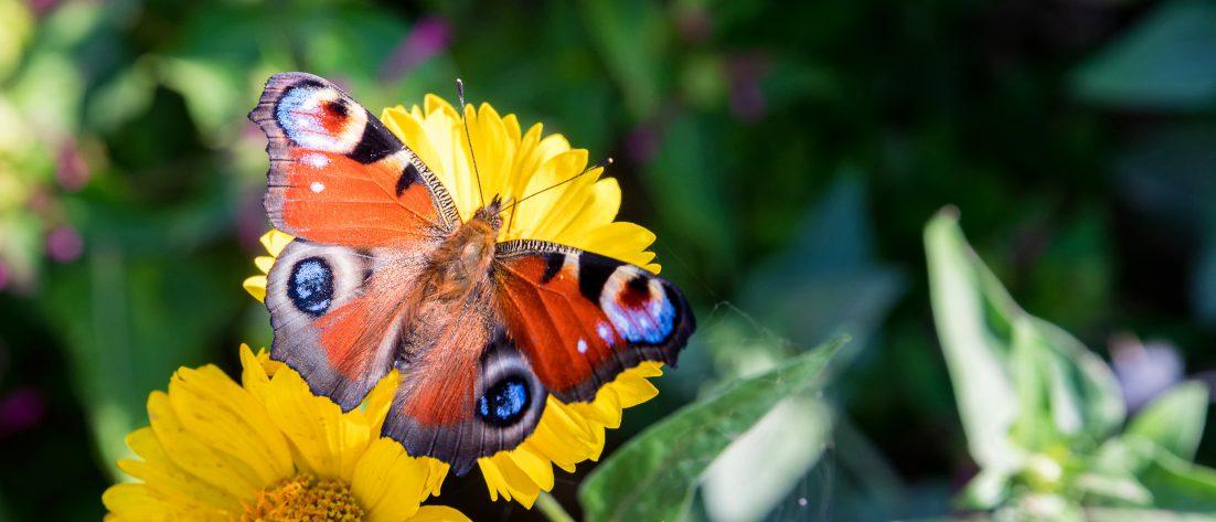 Zdjęcia motyla odpoczywającego na kwiatach