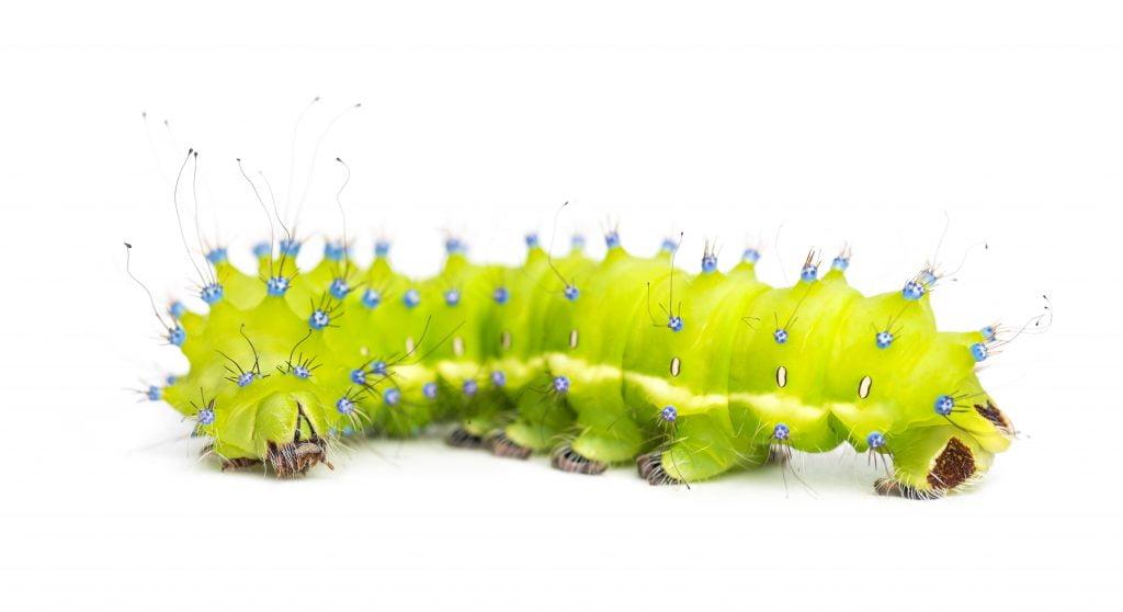 Zdjęcie gąsienicy motyla