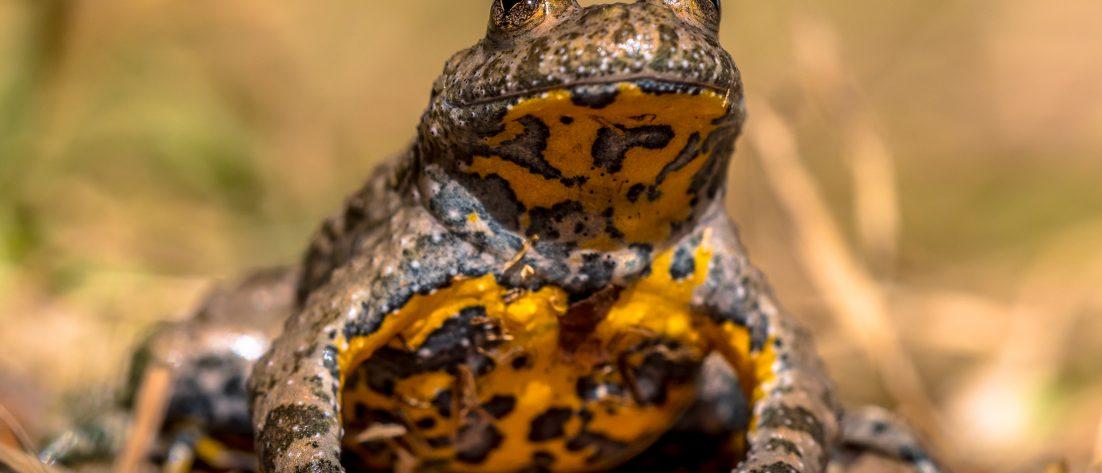 Zdjęcie przedstawiające kumaka nizinnego