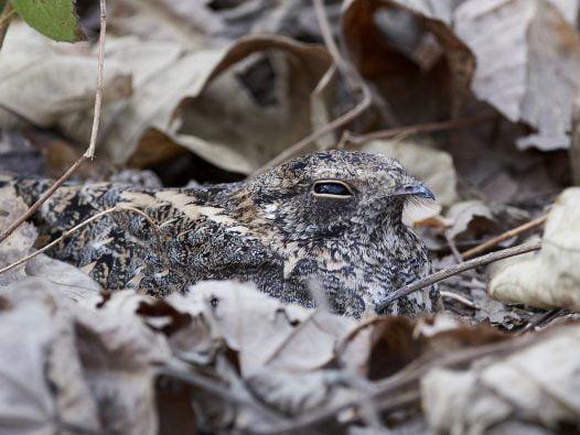 Zdjęcie lelka kozodoja