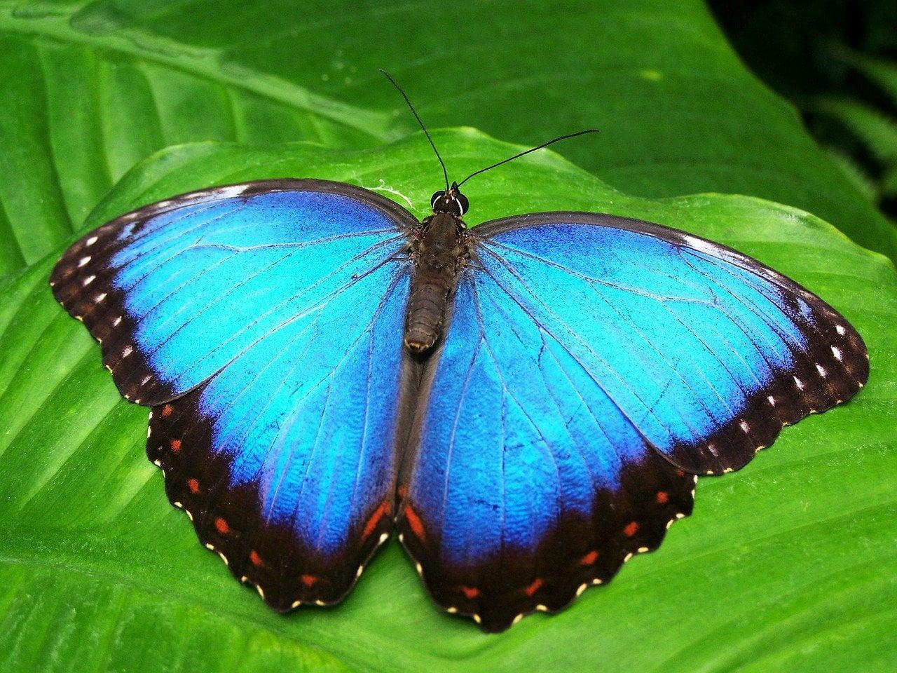 Zdjęcie motyla morpho