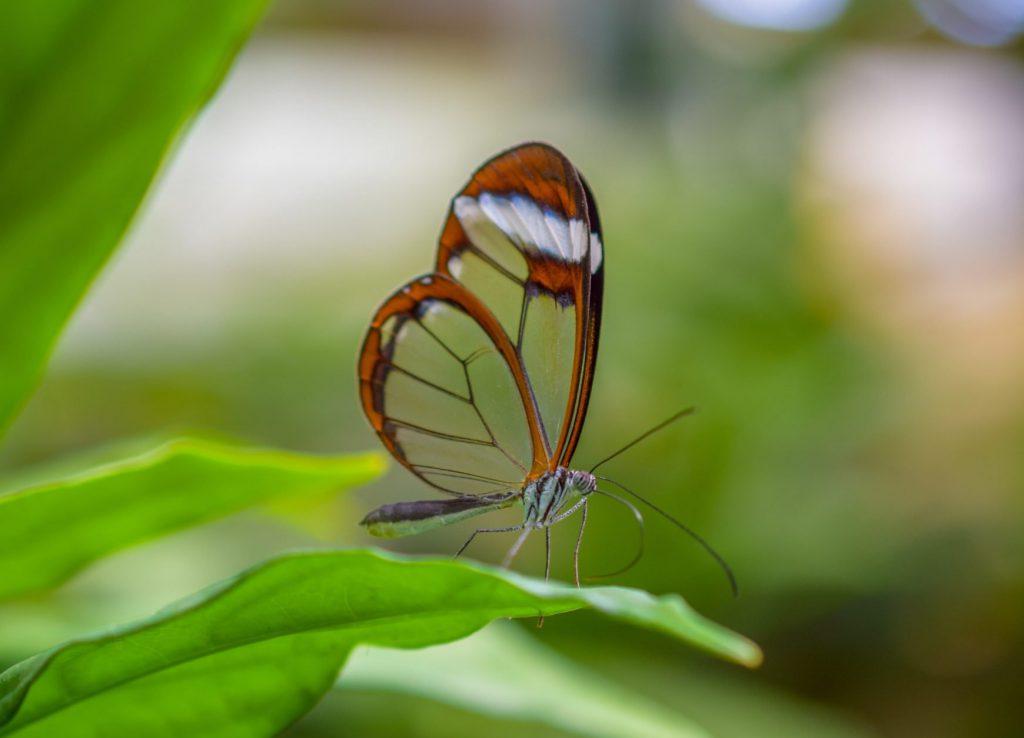 Zdjęcie motyla przeźroczystymi skrzydłami