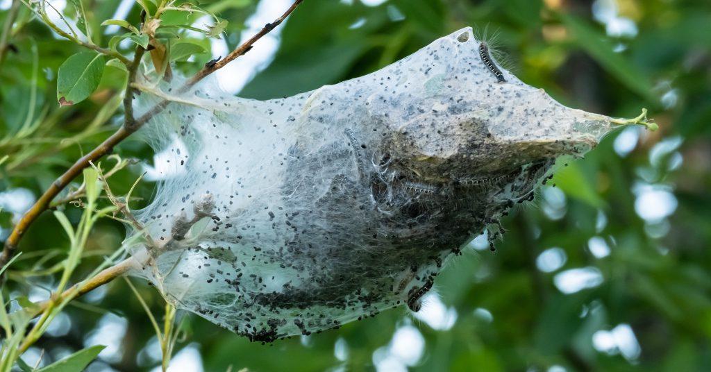 Zdjęcie oprzędu motylich gąsienic na drzewie