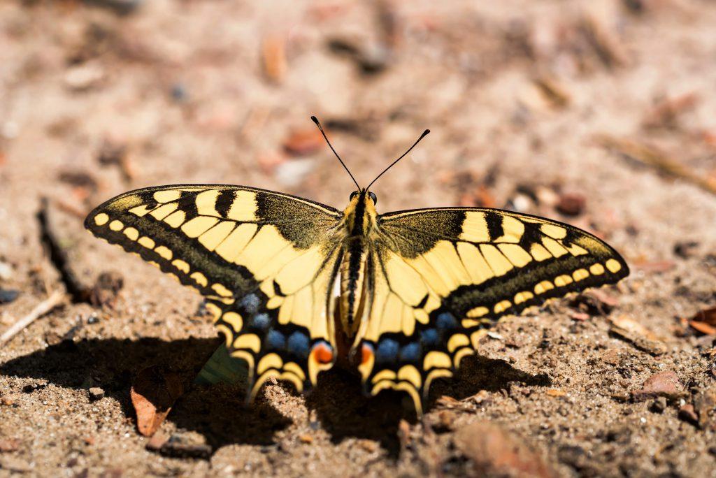 Zdjęcia motyla paz królowej
