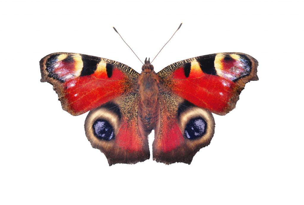 Zdjęcie motyla