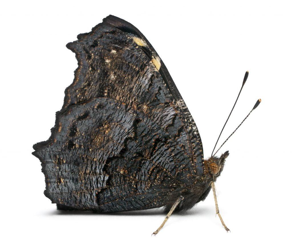 Zdjęcie motyla ze złożonymi skrzydłami