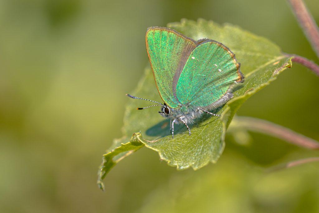 Zdjęcie motyla Zieleńczyk ostrężyniec