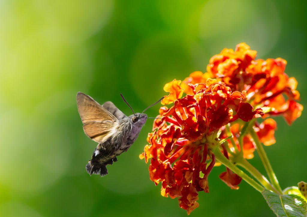 Zdjęcie ćmy żywiącej się nektarem kwiatów