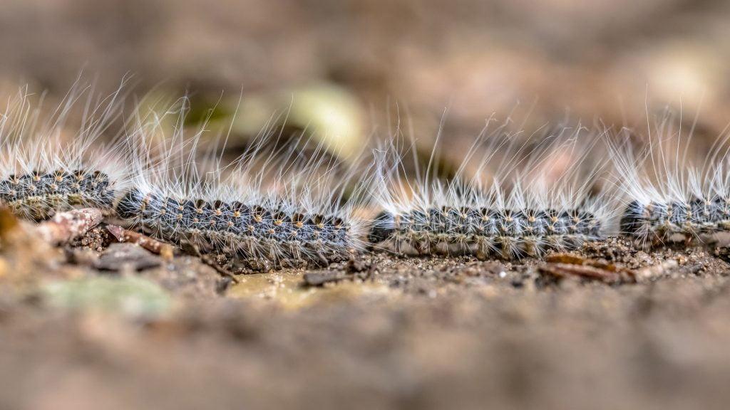 Zdjęcie idąc gąsienic korowódki dębowej